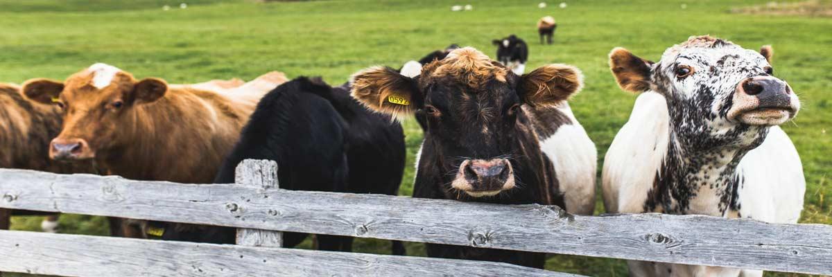 La Cense cattle ranchers