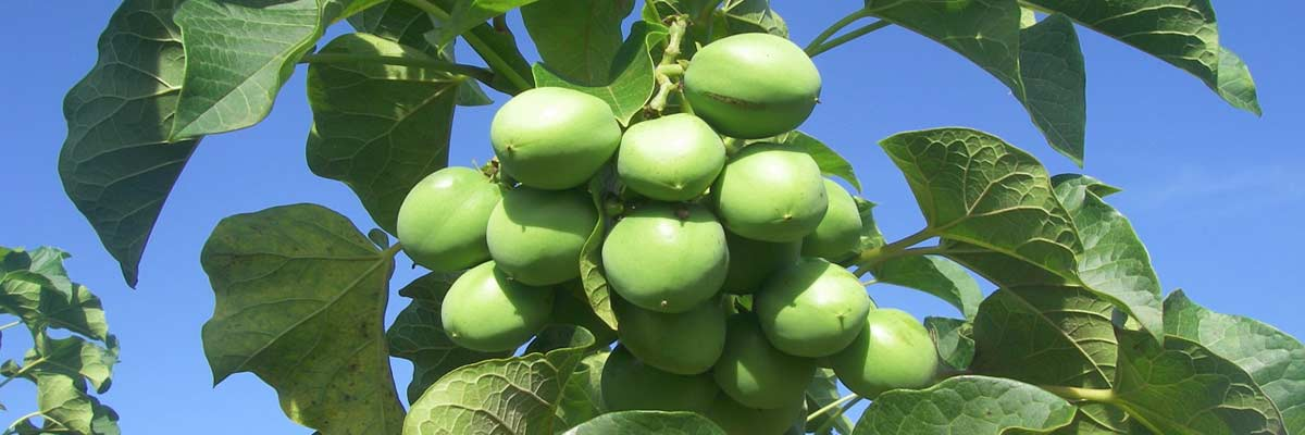 Biofuel With Jatropha