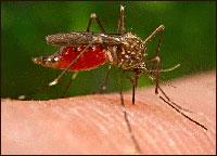 Disease-Bearing Mosquito