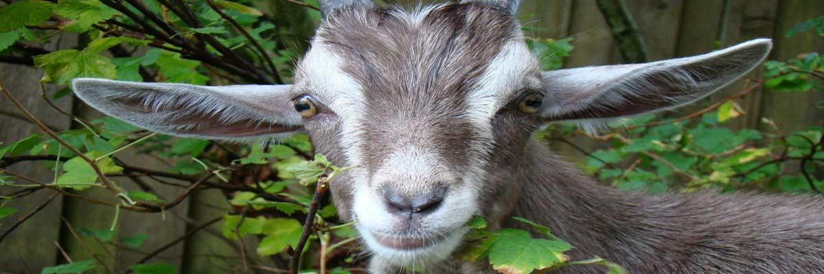 Goat Justice Leage