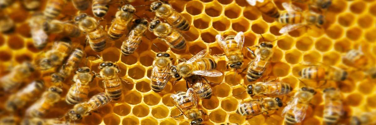Organic Bees
